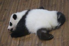 Peu de Panda Baby à Chengdu, Chine image libre de droits
