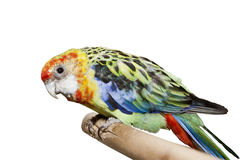 Peu de perroquet de couleur au-dessus du fond blanc Photos stock