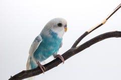 Peu de perruche mignonne, perruche, oiseau Photo stock