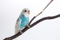 Peu de perruche mignonne, perruche, oiseau Images libres de droits