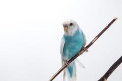 Peu de perruche mignonne, perruche, oiseau Photos stock