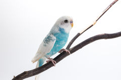 Peu de perruche mignonne, perruche, oiseau Photo libre de droits