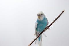 Peu de perruche mignonne, perruche, oiseau Photographie stock libre de droits