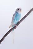 Peu de perruche mignonne, perruche, oiseau Images stock