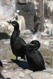 Peu de pingouin Photo libre de droits