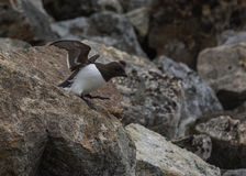 Peu de pingouin partant la colonie chez Fuglesongen, nanowatt le Spitzberg Image stock