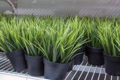 Peu de plante verte dans le pot noir Photographie stock libre de droits