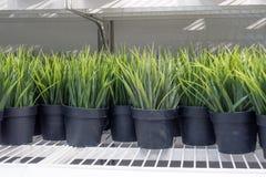 Peu de plante verte dans le pot noir Images stock