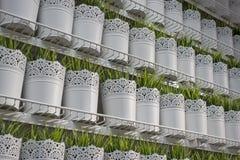 Peu de plante verte dans le whitepot Images libres de droits