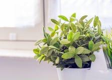 Peu de plante verte dans un vase blanc Image stock