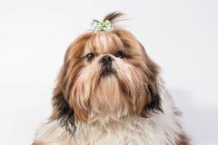Peu de portrait pelucheux de chien de Shih-tzu Image libre de droits