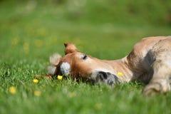Peu de poulain ayant un repos dans l'herbe verte avec des fleurs Photos stock