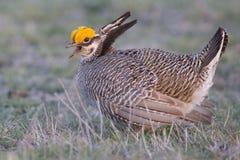 Peu de poulet de prairie à la recherche de femelle Photo stock
