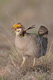Peu de poulet de prairie Photo libre de droits