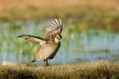 Peu de poulet de prairie Image stock