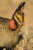 Peu de poulet de prairie Images libres de droits