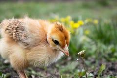 Peu de poulet, plan rapproché, poulet jaune sur l'herbe Multiplication de petits poulets Aviculture photographie stock libre de droits
