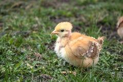 Peu de poulet, plan rapproché, poulet jaune sur l'herbe Multiplication de petits poulets Aviculture image stock