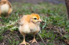 Peu de poulet, plan rapproch?, poulet jaune sur l'herbe Multiplication de petits poulets Aviculture photo stock