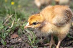 Peu de poulet, plan rapproch?, poulet jaune sur l'herbe Multiplication de petits poulets Aviculture image stock