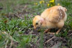 Peu de poulet, plan rapproch?, poulet jaune sur l'herbe Multiplication de petits poulets Aviculture photographie stock
