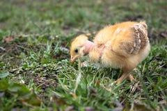Peu de poulet, plan rapproch?, poulet jaune sur l'herbe Multiplication de petits poulets Aviculture photos stock