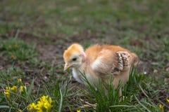 Peu de poulet, plan rapproch?, poulet jaune sur l'herbe Multiplication de petits poulets Aviculture photos libres de droits