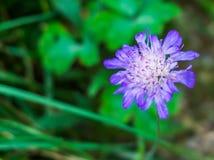 Peu de pourpre vibrant a coloré la fin de macro de fleur  photos libres de droits