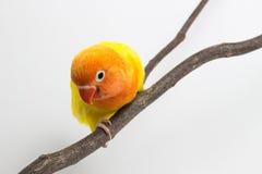 Peu de poussin jaune de perruche Photographie stock libre de droits