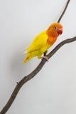 Peu de poussin jaune de perruche Images libres de droits