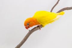 Peu de poussin jaune de perruche Image stock