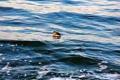 peu de ruficollis de Podiceps de dabchick dans le plumage d'hiver image libre de droits
