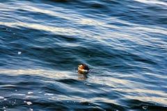 peu de ruficollis de Podiceps de dabchick dans le plumage d'hiver photo stock