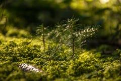 Peu de sapin/pin s'élevant dans la mousse verte dans les bois images stock