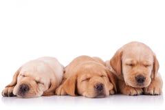 Peu de sommeil de chiots de chien d'arrêt de Labrador Photos libres de droits