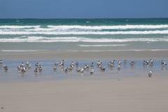 Peu de sterne crêtée à la belle plage du cap Bridgewater, Australie photos stock
