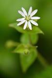 Peu de stitchwort (graminea de Stellaria) Photographie stock