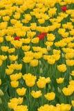 Peu de tulipe rouge dans le domaine du jaune Photographie stock