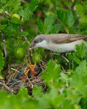 Peu de Whitethroat, curruca de Sylvia Photo stock