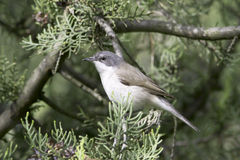 Peu de whitethroat dans l'habitat naturel - fin/curruca de Sylvia photo stock