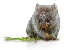 Peu de wombat Images stock