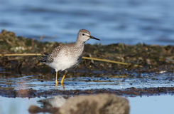 Peu de Yellowlegs Images stock