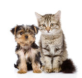 Peu de Yorkshire Terrier et chaton tigré Photos stock