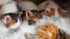 Peu des chatons sucent un sein de mésange au chat de mère Allaiter des chatons Les chatons mangent du lait maternel Famille de ch banque de vidéos