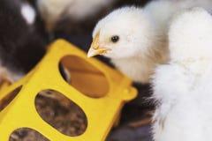 Peu des poulets mangent des conducteurs image stock