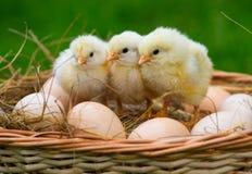 Peu des poulets se reposent sur les oeufs photos stock