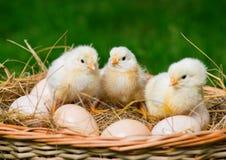 Peu des poulets se reposent sur les oeufs image libre de droits