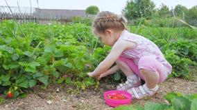 Peu fille mignonne moissonnant des fraises dans l'arrière-cour de la maison clips vidéos