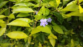 Peu fleurs pourpres avec la feuille verte photos stock