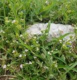 Peu fleurs roses dans l'herbe avec une roche image libre de droits